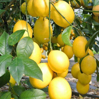 <b>フルーツレモン</b><br>©一般社団法人 八丈島観光協会