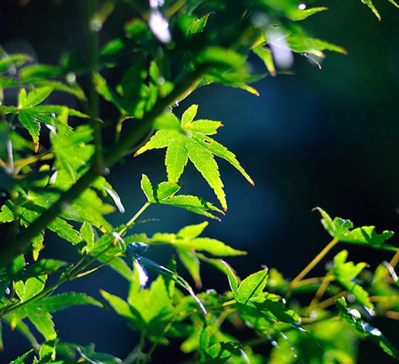 日本の新緑の季節を彩る青もみじ