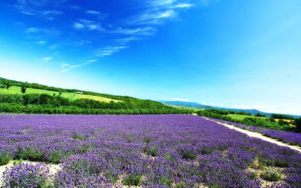 雄大な北海道 富良野のラベンダー畑